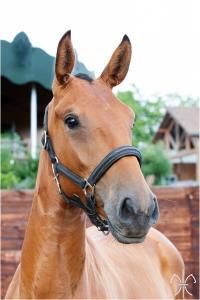 Photo cheval a vendre ORAN DE LA GESSE